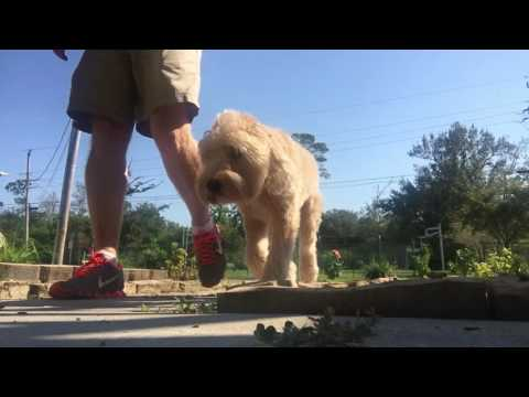 Murphy -Wheaten Terrier | Amazing obedience | Baton Rouge Dog Trainers