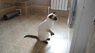 Тайского котика Калиостро, совсем как папу Оскара, заинтересовал процесс стирки! Тайские кошки - это