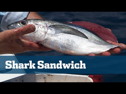 Shark Fishing Best Bait Butterflied Bonito Blackfin Tuna - Florida Sport Fishing TV