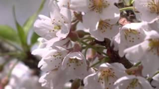 樽見の大桜【兵庫県養父市大屋町 】2016.4.6