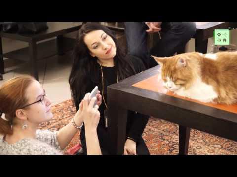 Мейн-куны – самые большие домашние кошки