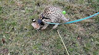 Legolas The Serval Cat, first time outdoors, playing, having fun, loving us 🐆 #1