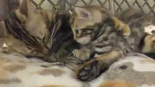 Бенгальский котенок из питомника