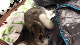 [콤콤이네][고양이복막염] 마지막 큰 발작 (cat with FIP, Feline Infectious Peritonitis)