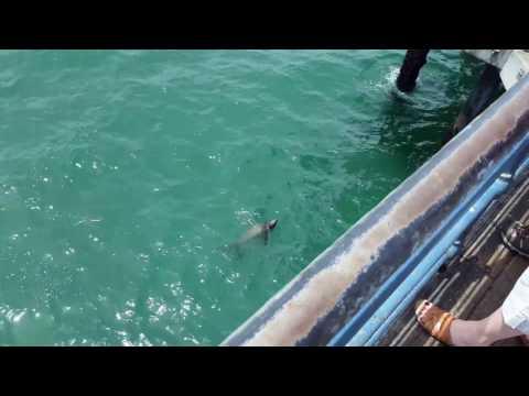 Santa Monica Sea Lion