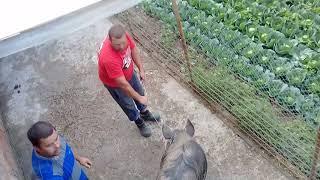 Сматрите і вчитесь как нужна резать свиню