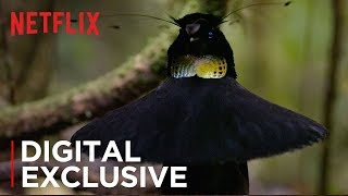Our Planet | Birds Of Paradise | Exclusive Clip | Netflix