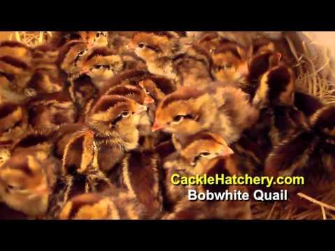 Bob White Quail – Game Birds For Sale | Cackle Hatchery