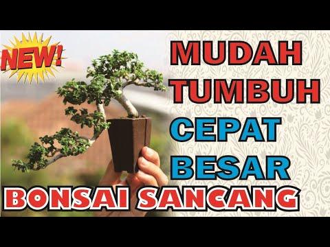 sancang-tanaman-bonsai-yang-mudah-dibiakkan-(premna-microphylla)