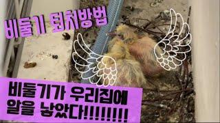 비둘기퇴치 확실한 방법 , 비둘기 완벽 퇴치법 , 비둘…