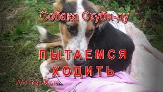 Собака Скуби ду Пытаемся ходить