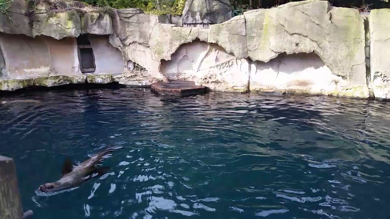 sea lions sea lioning youtube