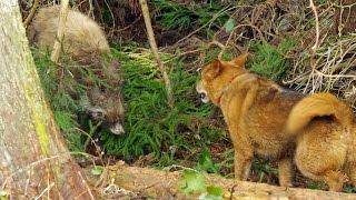 2015年3月。通りがかりの山道でイヌとイノシシが戦っていました。 イヌ...