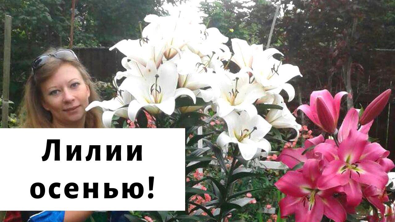 сажаем лилии осенью видео