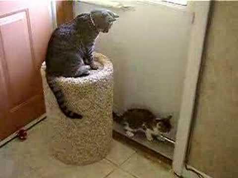 Funny Cat Video! (add my new account-in description)