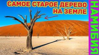 Самое старое дерево на Земле находится в Мертвой долине Намибии?