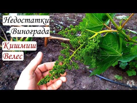 Недостатки гибридной формы винограда Кишмиш Велес