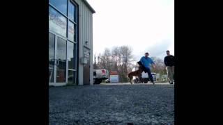 Duke Biting On The Assault! :-) K9 Training, Virginia