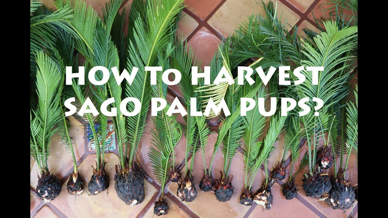 How To Harvest Sago Palm Pups King Or Anese