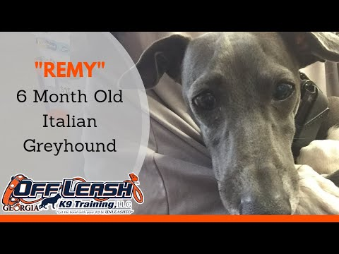 Remy | 6 Month Old Italian Greyhound | Doggie Boot Camp