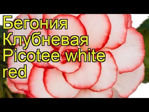 Бегония клубневая (picotee white red). Краткий обзор, описание характеристик, где купить луковицы