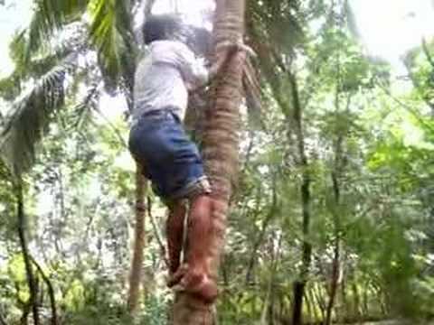 Coconut Tree Climbing Youtube