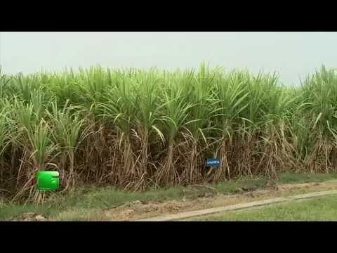Sugarcane Farming (गन्ने की खेती) :1 In Baatein Kheti Ki - On Green TV