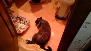 Британская кошка кайфует от хлорки