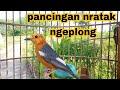 Anis Merah Ngeplong Santai Dan Suara Anis Merah Krek Krek Betina  Mp3 - Mp4 Download