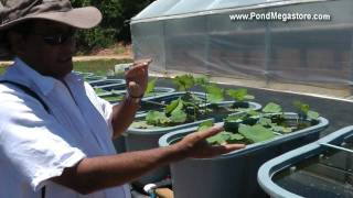 Auburn Lotus Project, Tilapia and Lotus phyto remediation