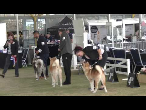 Akita Japanese Judging Sydney Royal 2017