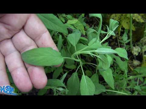 ⟹ Common Sage | Salvia Officinalis | Growing Sage In The Garden