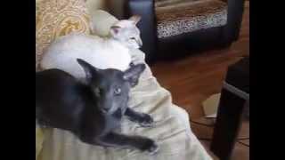 Элечка такая умница!!! Ориентальные кошки...