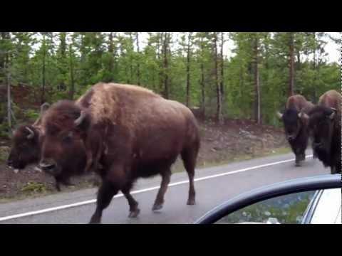 Yellowstone Bison Run