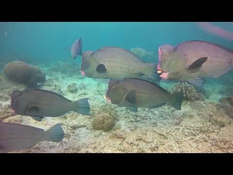 School Of Bumphead Parrotfish - Sipadan Island, Malaysia