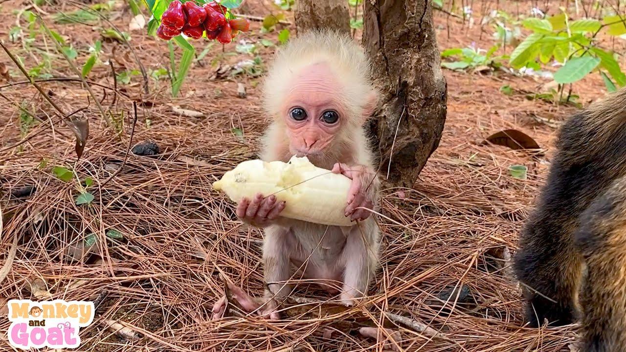 Monkey BiBi picking banana for Goat