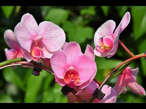 подкормка орхидей удобрением в палочках