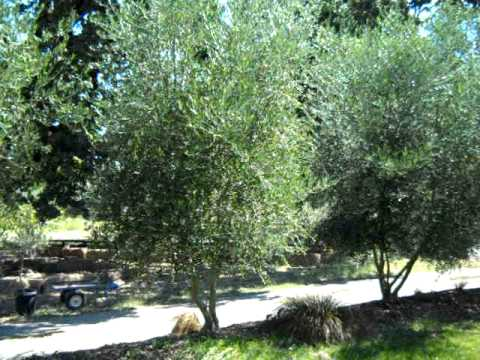 Koroneiki Olive Tree Profile You