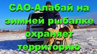 Зимняя рыбалка на окуня с собакой алабай охраняет территорию