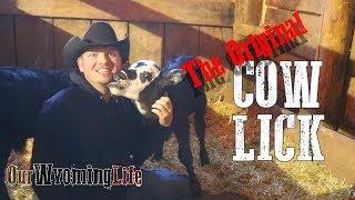Calving on the Ranch - Calving Season Update Video
