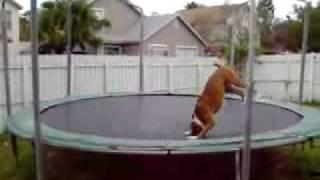 Pies na trampolinie