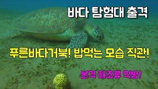 푸른바다거북 Green sea turtle 해조류 먹방…