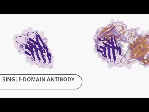 Nanobody & Llama Nanobodies / Single Domain Antibody & Antibodies from Abcore