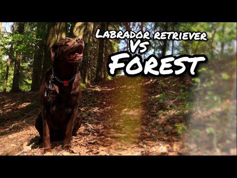 LABRADOR RETRIEVER 🐺 vs FOREST 🏞️ cinematic video