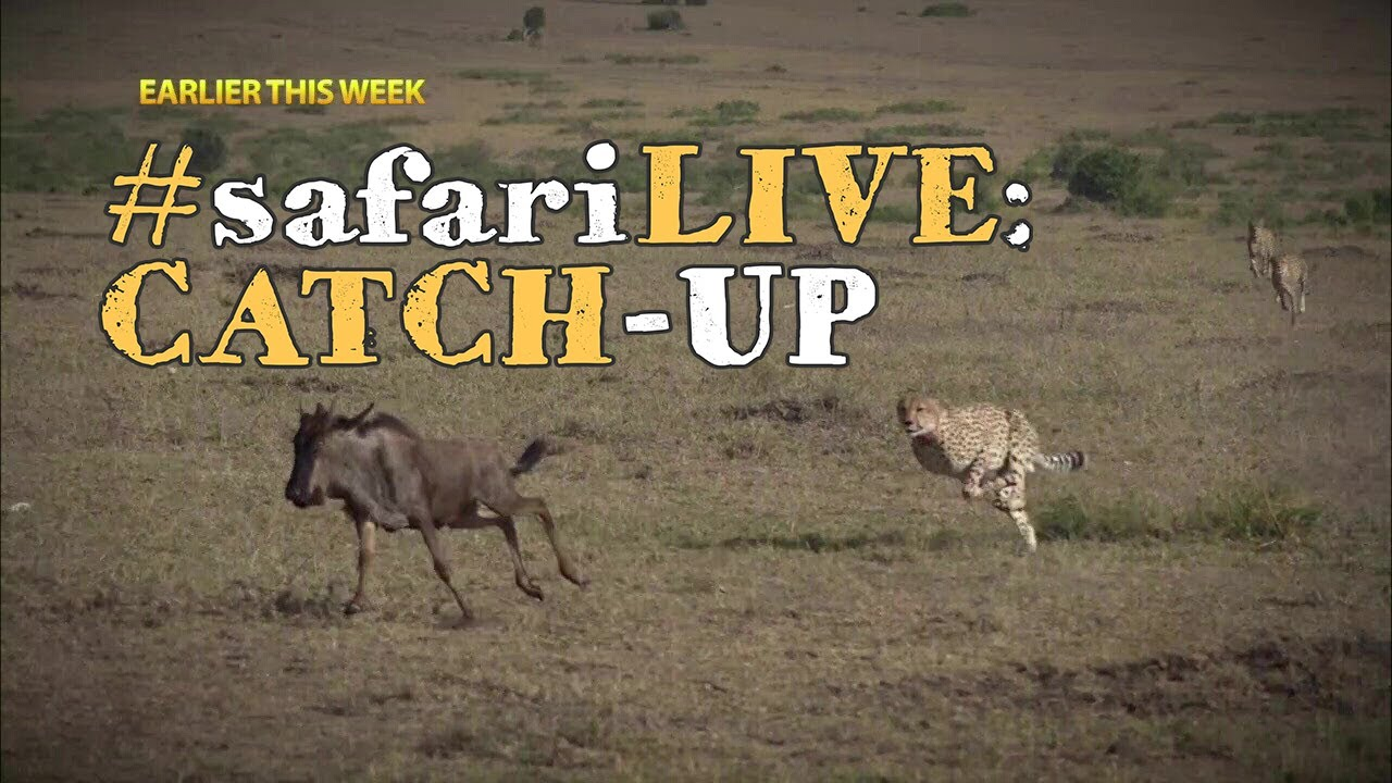 safarilive-catch-up-5-male-cheetahs-hunt-the-great-migration