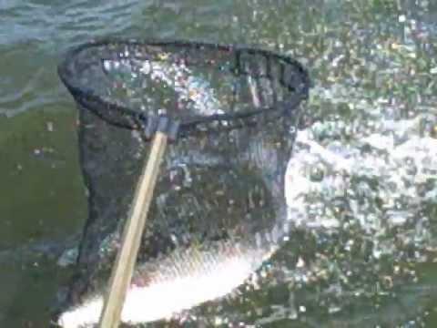 Hybrid Bass Fishing Action Pro Guide Service Truman Lake ...