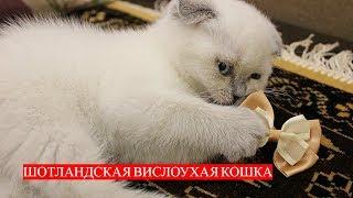 Кошка Шотландская Вислоухая