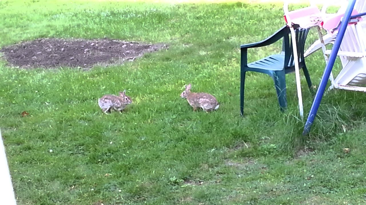 wild bunnies playing tag youtube