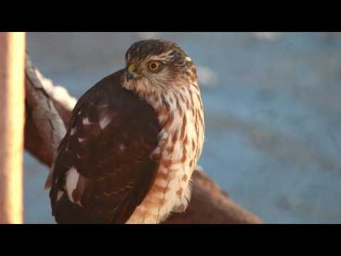 A Visit From A Sharp Shinned Hawk
