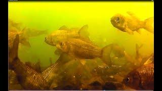 Ловля карася на манку маховой удочкой зимой, подводное видео